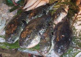 Kugelfische auf einem Fischmarkt in Tokyo