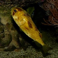 Der Igelfisch Diodon holocanthus