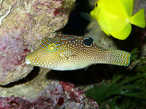 Canthigaster solandri - P1040086