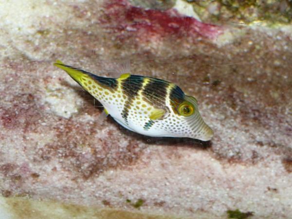 Canthigaster valentini - P1000358