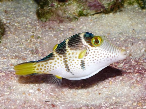 Canthigaster valentini - P1040072