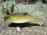 Canthigaster solandri - P1040085