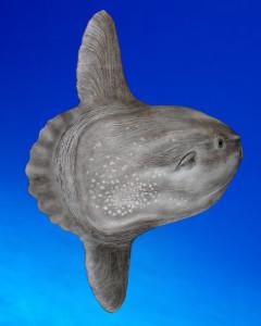 Der Mondfisch Mola mola